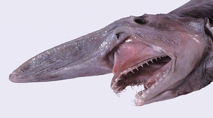 Lebende Fossilien: Koboldhai