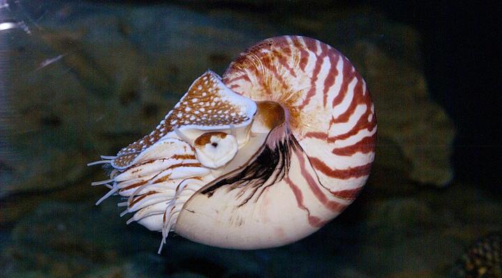 Lebende Fossilien: Das Perlboot