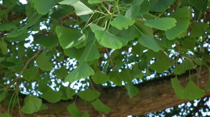 Blätter des Ginkgo Biloba