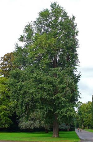 Ginkgo biloba in einem Park in Karlsruhe